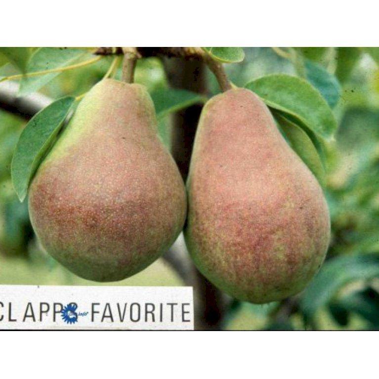 Pære 'Clapps Favorite'