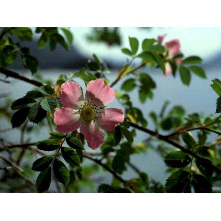 Blågrøn Rose