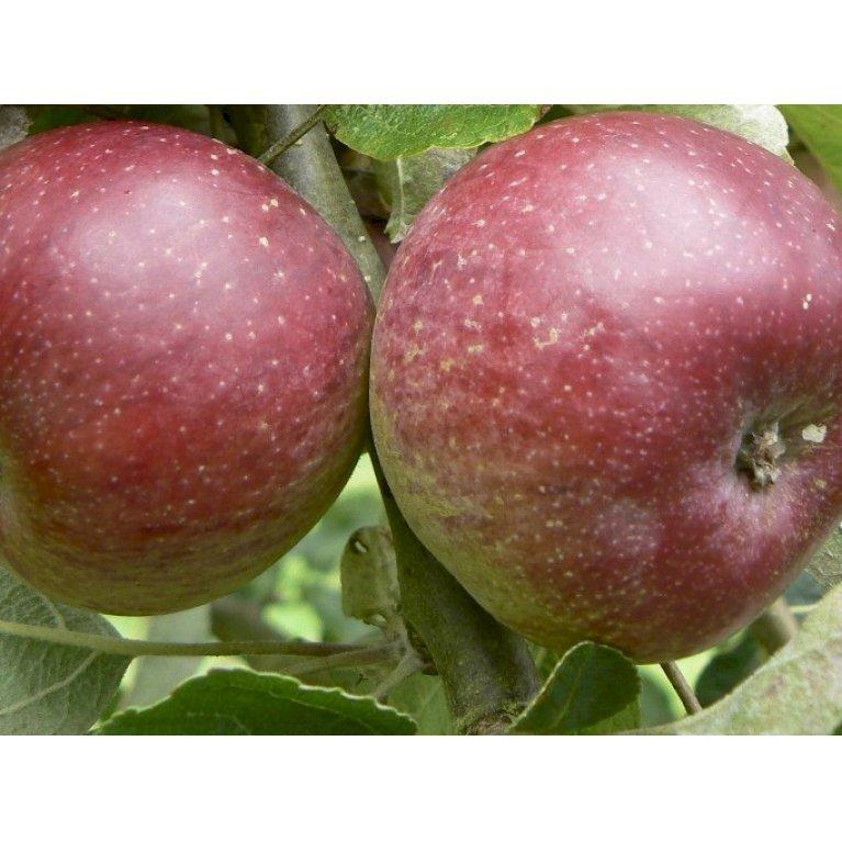Cider æble 'Black dabinette'