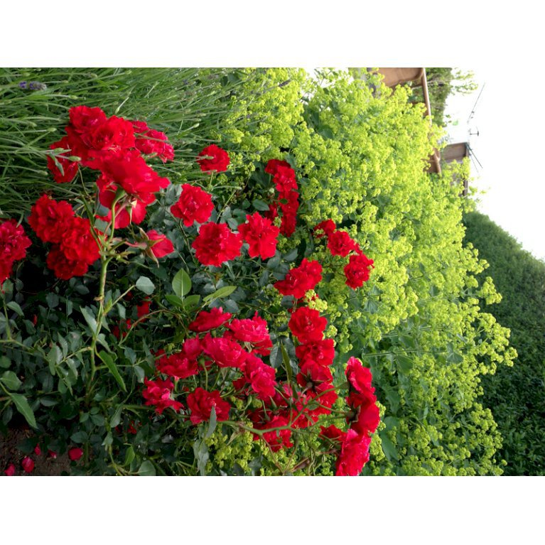 Buketrose 'Lady in Red' plant'n'relax