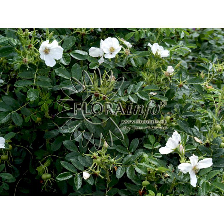 Hvid Hybenrose