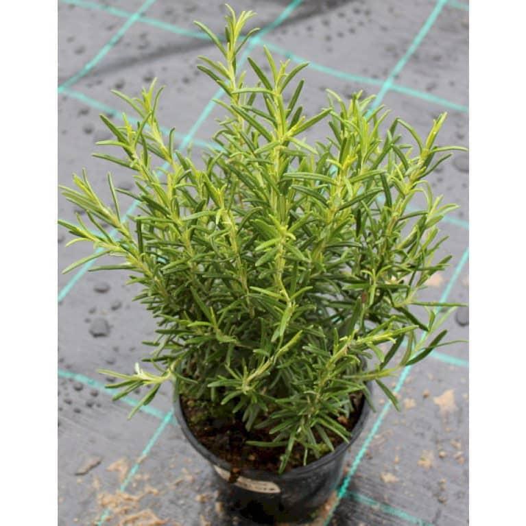 plantning af rosmarin