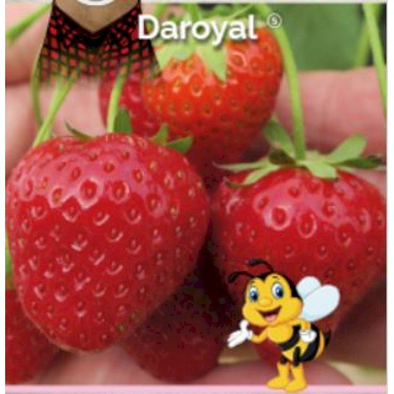 Jordbær 'Daroyal'