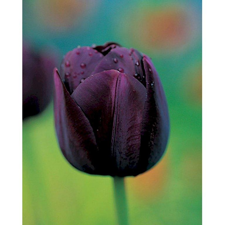Tulipan 'Queen of Night'