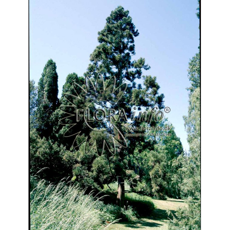 Mammuttræ