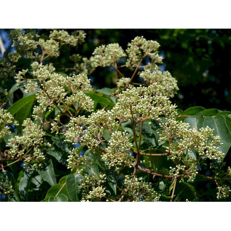 Honningtræ / Bitræ