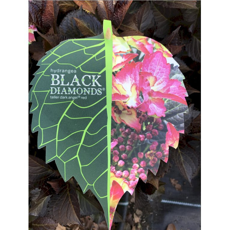 Hortensia 'Black Diamonds'