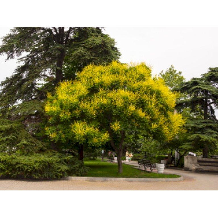 Pagodetræ