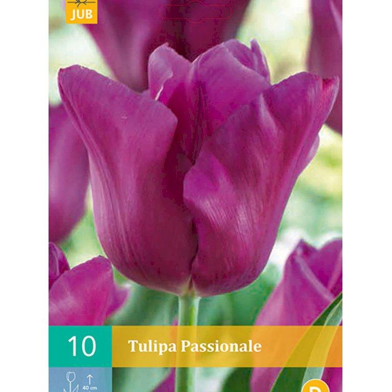 Tulipan Triumf 'Passionale' (nr. E55)