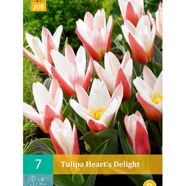 Kaufmanniana tulipaner 'Heart's delight' (nr. E83)