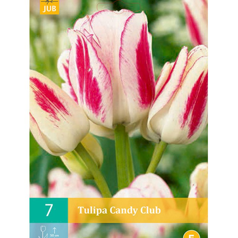 Multiblomstrende tulipan 'Candy Club' (nr. E89)