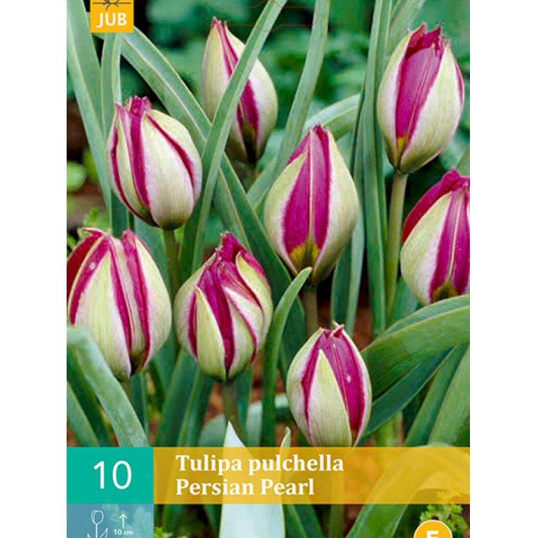 Botaniske tulipaner 'Pulchella Persian Pearl' (nr. E94)