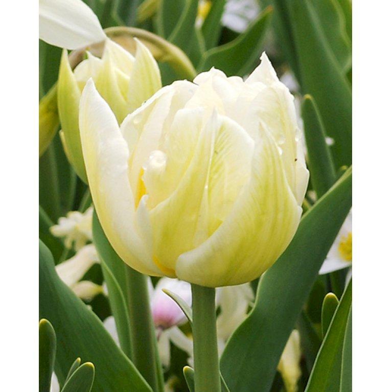 Tulipan 'Mondial'