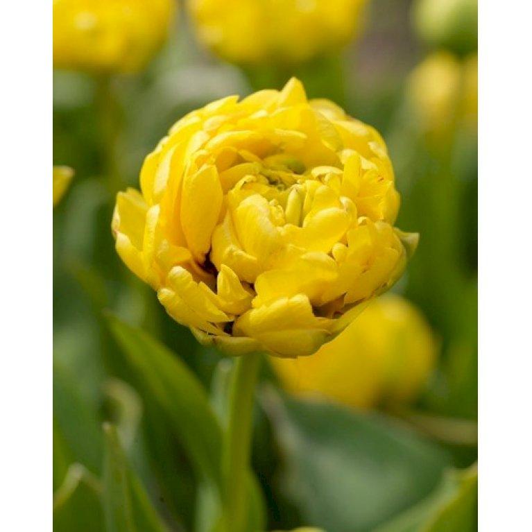 Tulipan 'Yellow Pomponette'