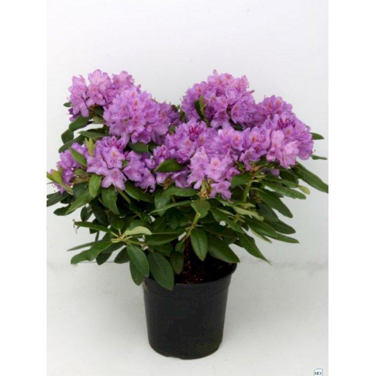 Rhododendron 'Grandiflorum'
