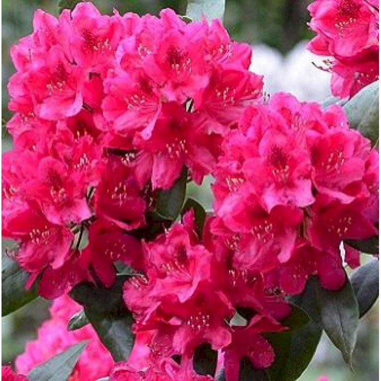 Rododendron 'Nova Zembla'