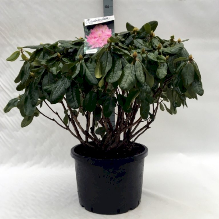 Rododendron 'Scintillation'