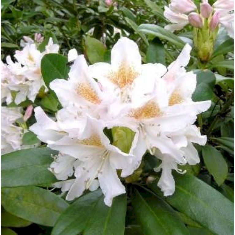 Rododendron 'Cunningham's White'