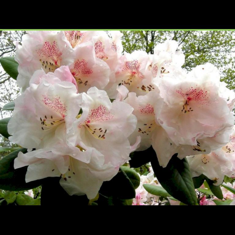 Rododendron 'Gartendir. Rieger'