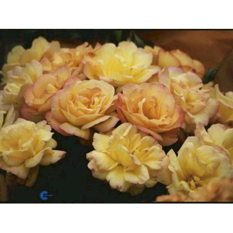 Storblomstrende Rose 'Bellevue'