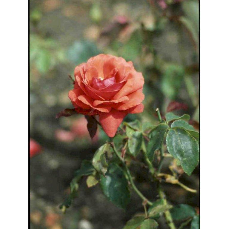 Storblomstrende Rose 'Duftwolke'