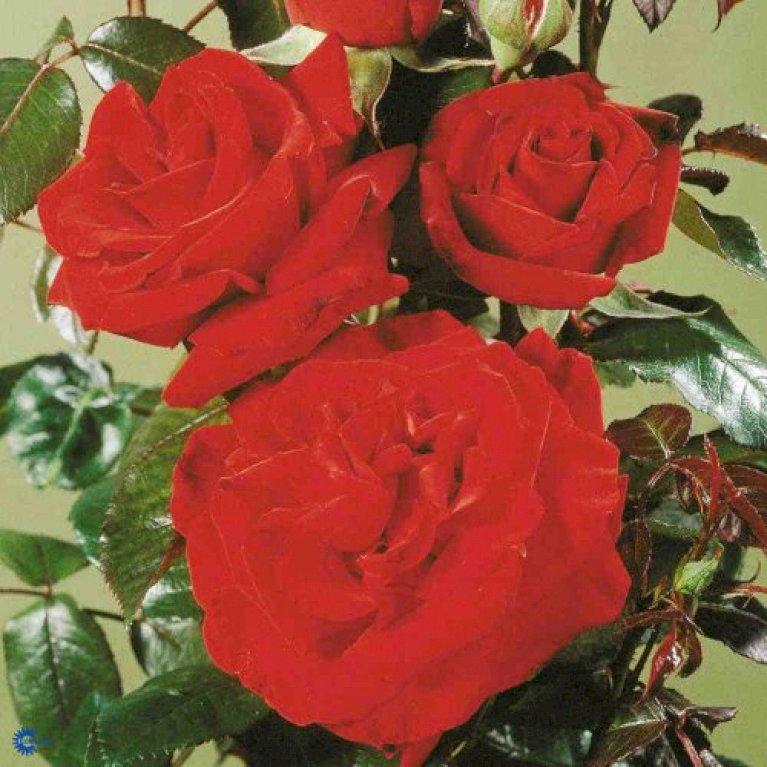 Storblomstrende Rose 'Ingrid Bergman'  ®