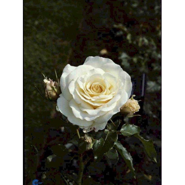 Storblomstrende Rose 'José Carreras'