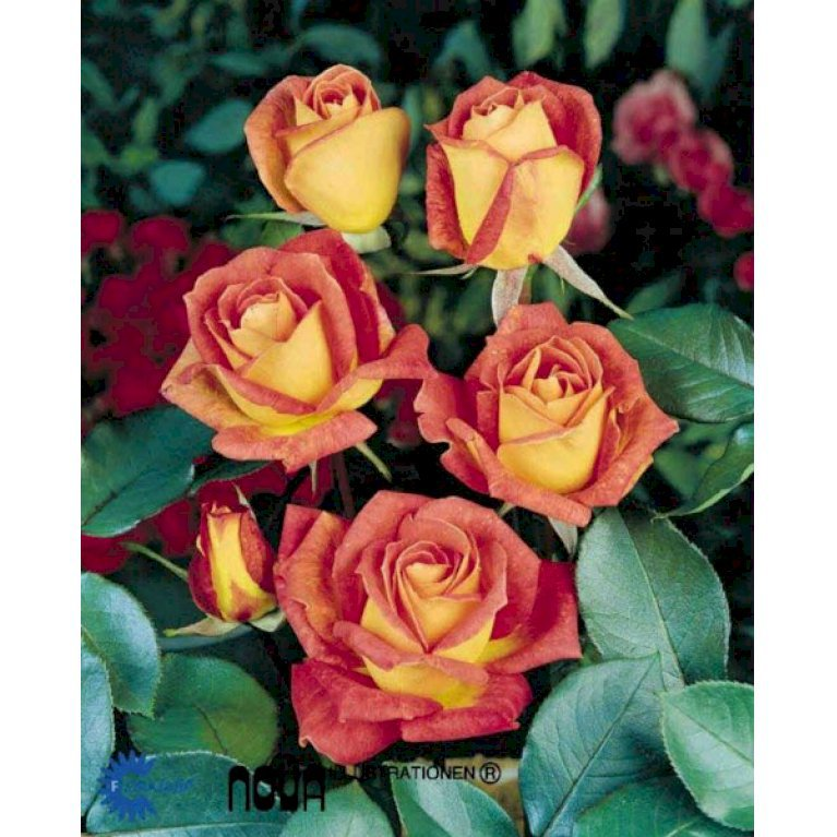 Storblomstrende Rose 'Piccadilly'