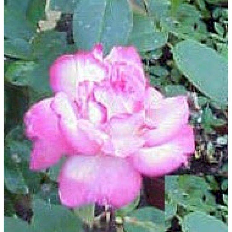 Storblomstrende Rose 'Sigrid Undset'
