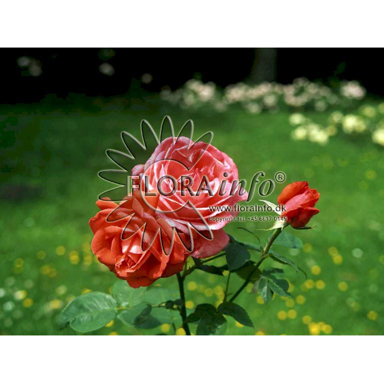 Storblomstrende Rose 'Super Star' ®