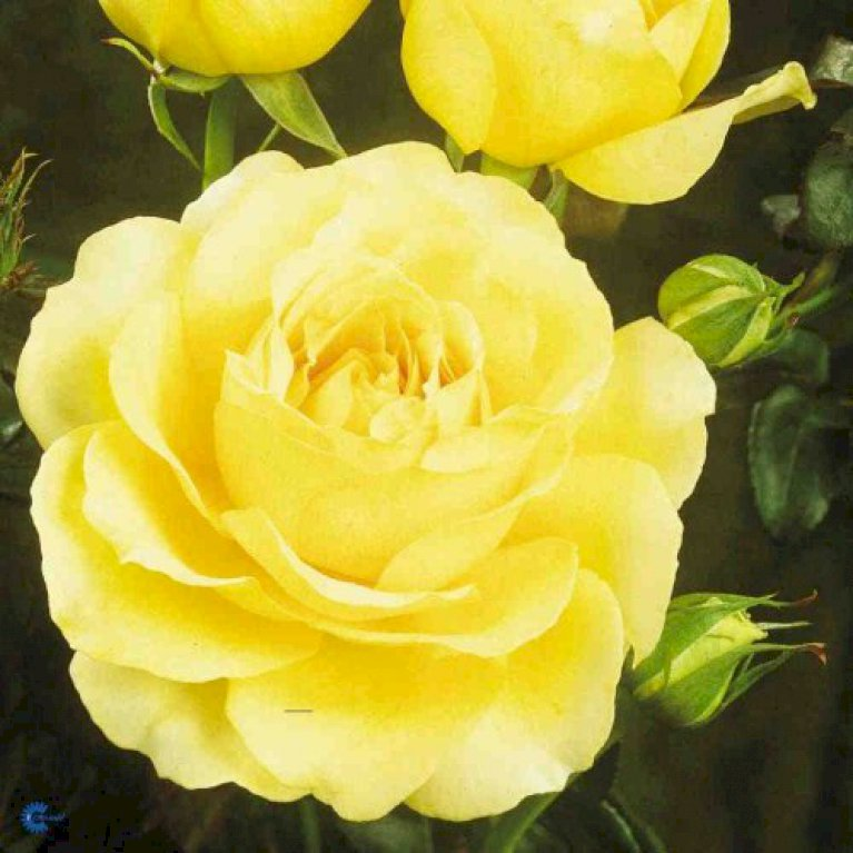 Storblomstrende Rose 'Tivoli  150'