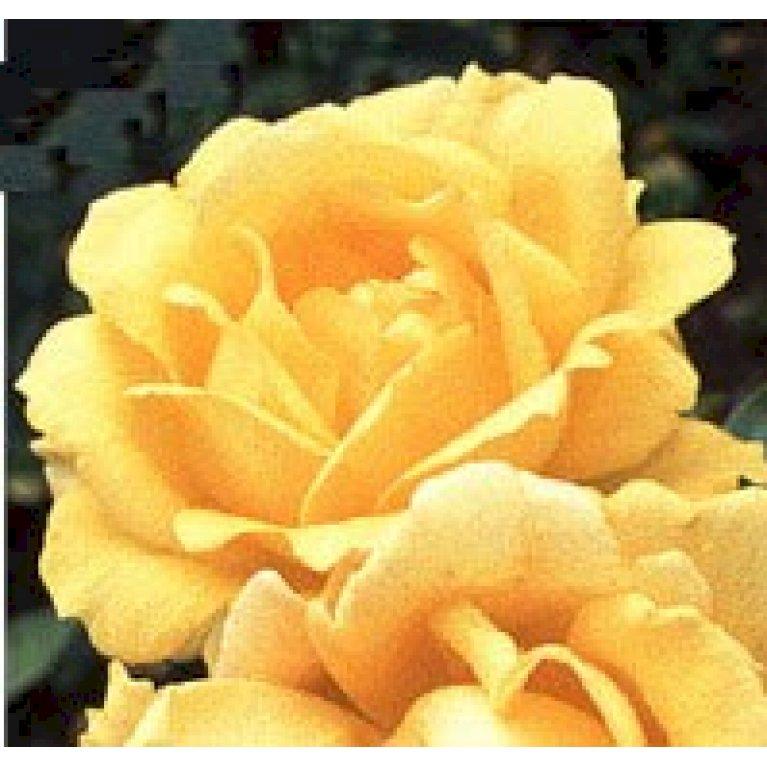 Storblomstrende Rose 'Western Sun'