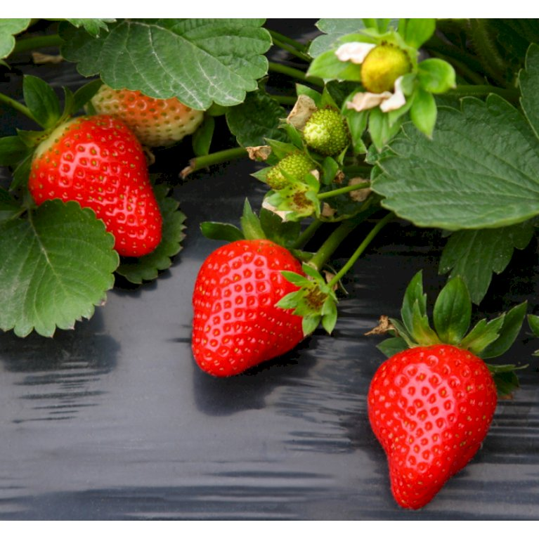 Jordbær 'Elsanta'
