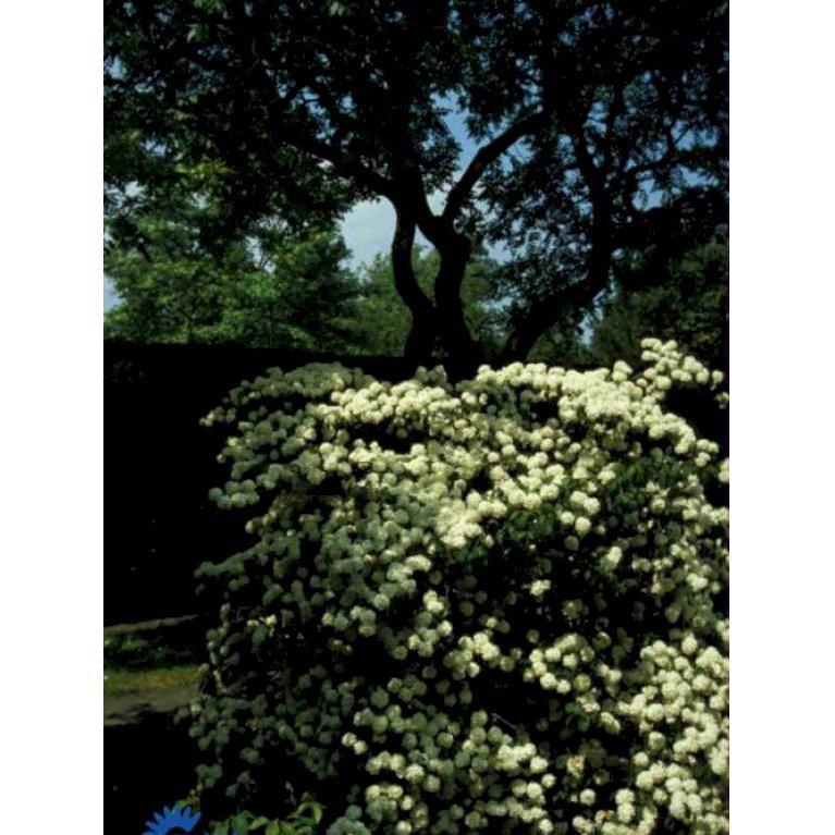Duft Snebolle Viburnum Carlesii Plantetorvetdk