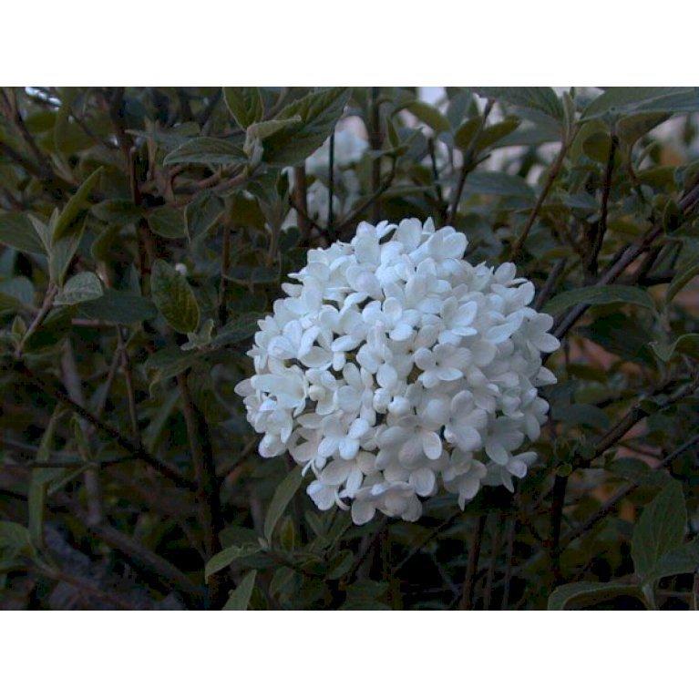 Viburnum hybrid 'Eskimo'
