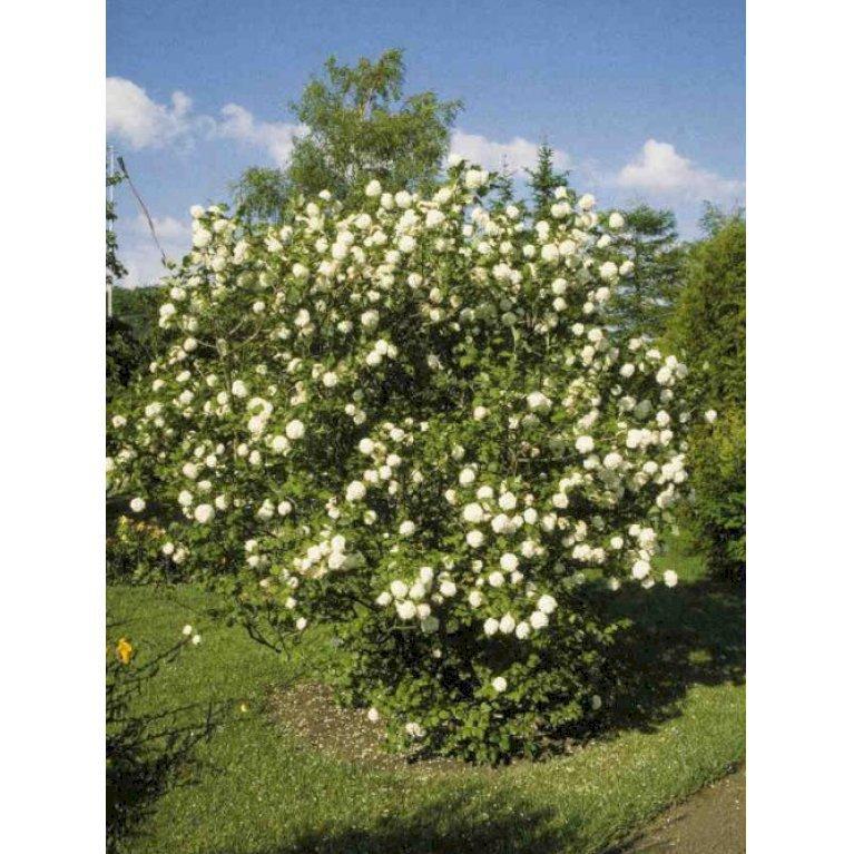 Snebolle Roseum Plantetorvetdk