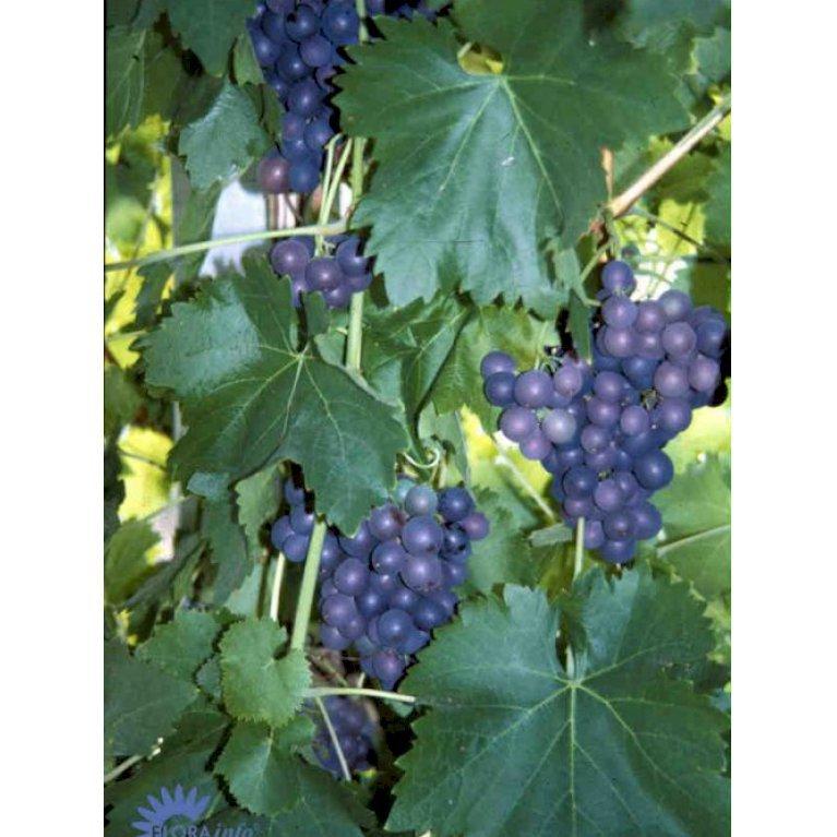 Vin 'Frankenthaler' - Plantetorvet.dk