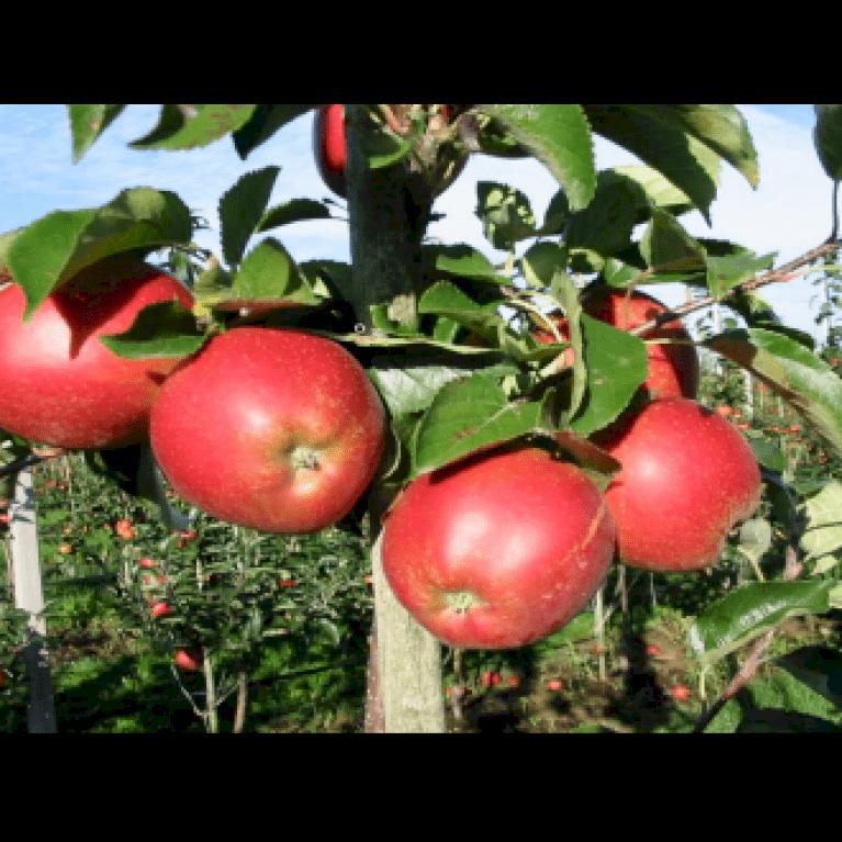 Æble 'Rød Belle de Boskoop'