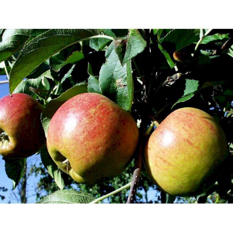Æble 'Elstar/Elshof'