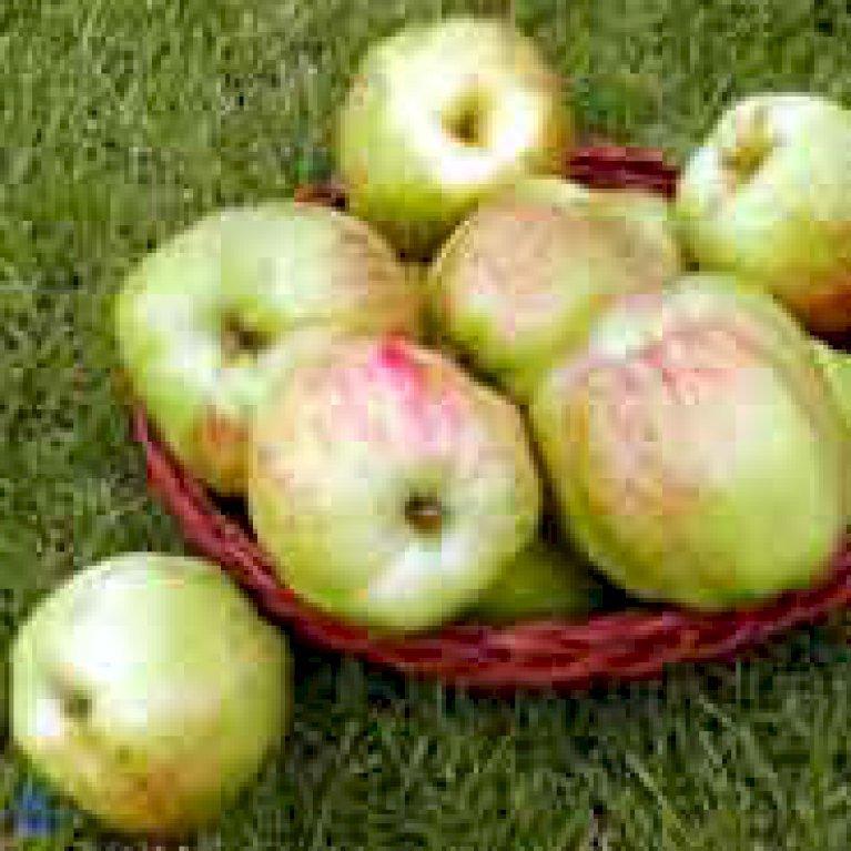 Æble  'Gul Gråsten'
