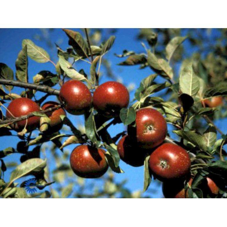 Æble 'Rød Ingrid Marie'