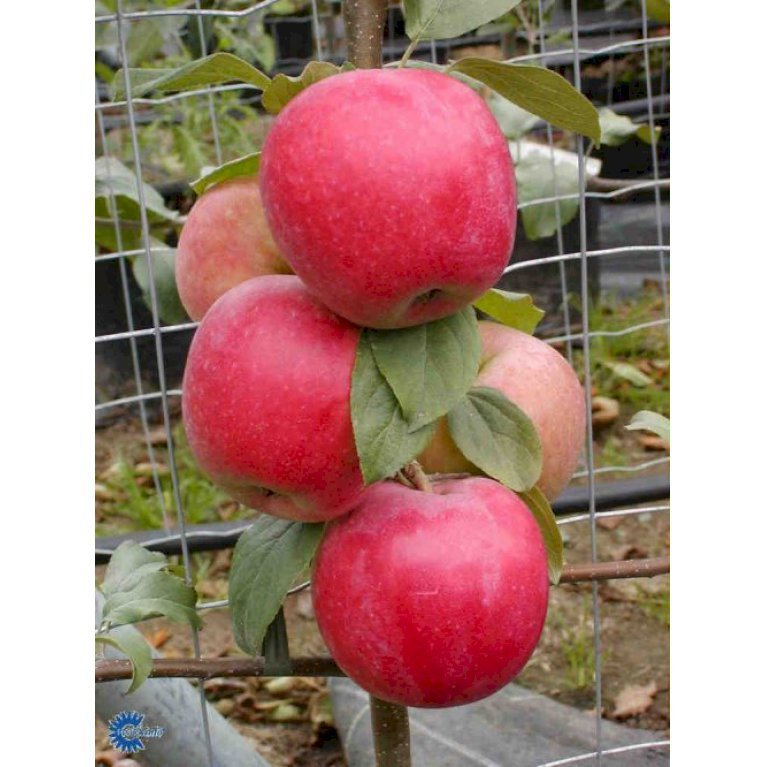 Æble 'Rød Ananas'