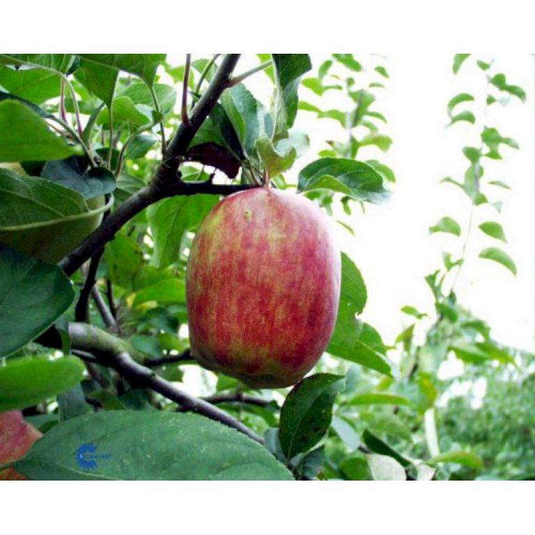 Æble 'Rød Gråsten'