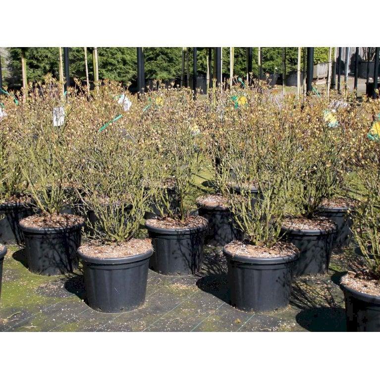 Azalea luteum (pontica)