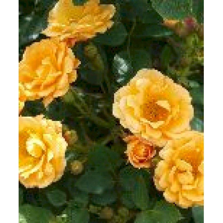 Bunddækkende rose 'Flaming Cover'