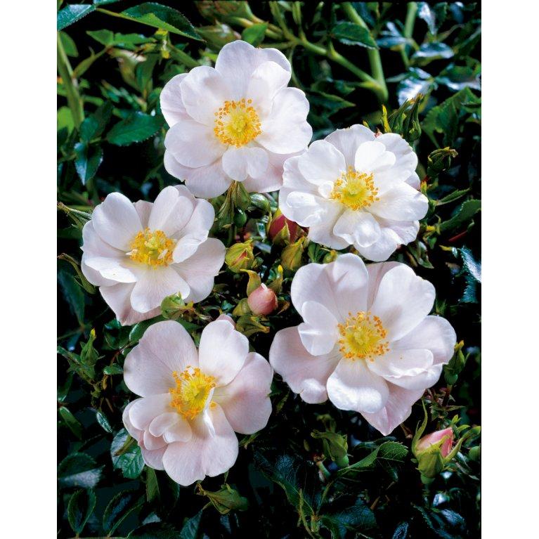 Bunddækkende rose 'Hill'