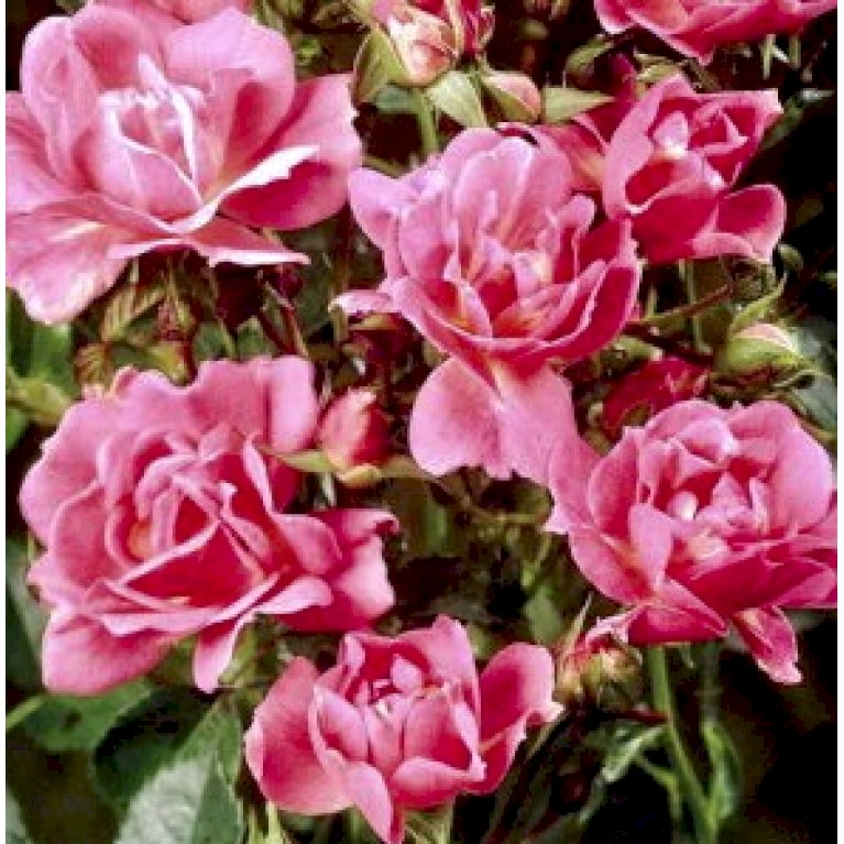 Bunddækkende rose
