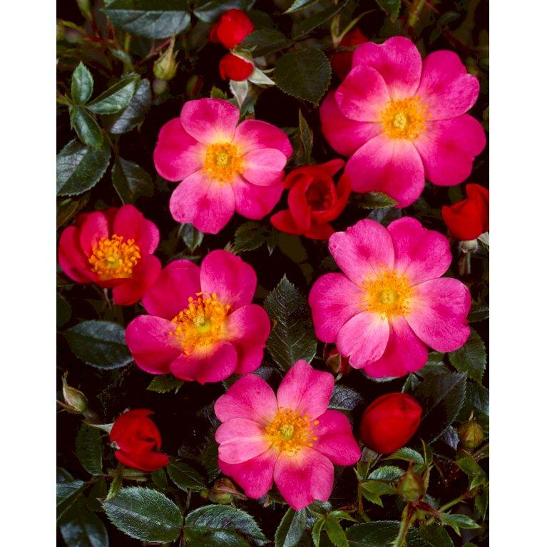 Bunddækkende Rose 'Marsh'