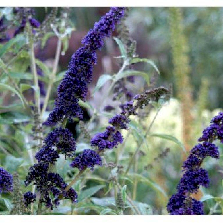 Sommerfuglebusk 'Empire Blue'