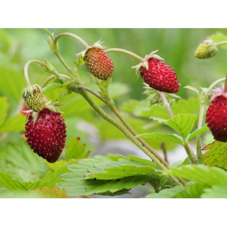 Skovjordbær / Immerbær